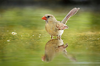 northern cardinal, Cardinalis cardinalis, female bathing, Hill Country, Texas, USA, North America