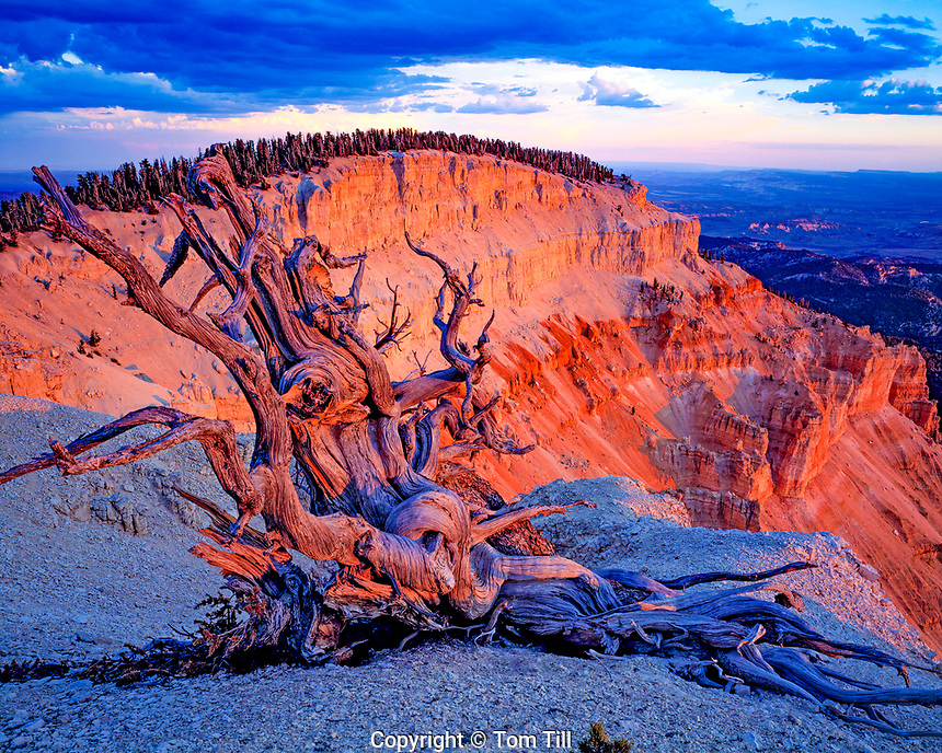 Bristlecone Pine at Sunset, Powell Point, Table Cliff Plateau, Dixie National Forest, Utah   Pinus longaeva