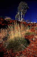 Spinifex or hummock Grassland covers 22% of the Australian continent, and is the most extensive vegetation type in Australia. It covers sandhills, sand plains and rocky ranges from the Pilbara and the Kimberly in the north west to the Mallee in Victoria. Ernest Giles called it an abomination, as it was most uncomfortable to travel through, wounding his horses legs with its needle like spikes. It is a plant that is extremely well adapted to surviving in the arid zone.