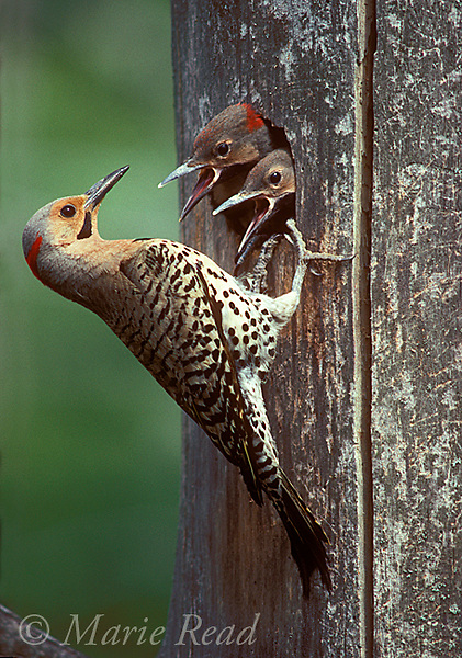 Northern Flicker (Melanerpes auritus), male outside nest hole where two large nestlings look out begging, New York, USA<br /> Slide # B9681
