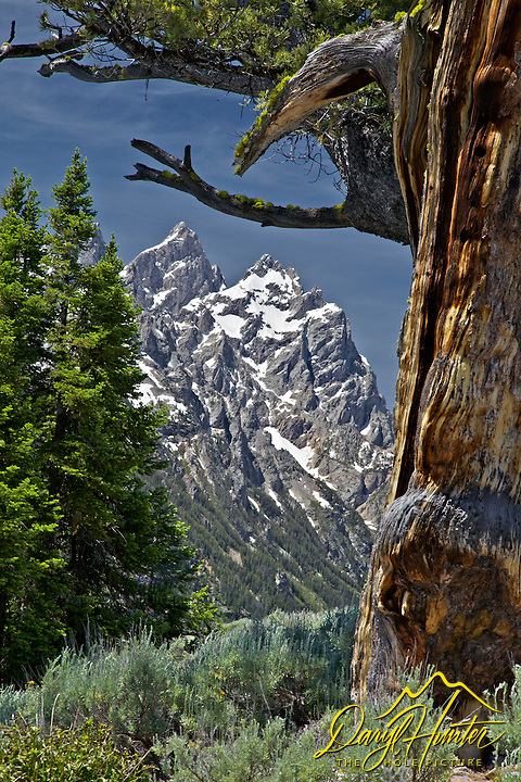 Grand Tetons, old limbar pine, Grand Teton National Park,<br />