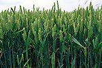 Side view of green crop of wheat showing stalks and seed head.