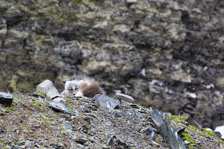 Exploring Diskobutka on the island of Edgeoya in the Svalbard archipelago which supports a variety of wildlife including reindeer, arctic fox and a kittiwake colony. Here an arctic fox rests along the cliffs of a black legged kittiwake colony