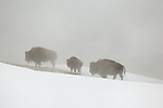 Bison in Fog and Snow