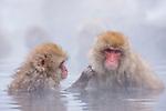 Japan, Japanese Alps, snow monkeys delousing in hot spring
