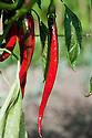Long, slender, red 'Joe's Long' chillies, late September.