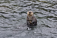 Curious Sea Otter (Enhydra lutris) , Prince William Sound, Alaska.  Spring.