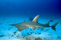 white-spotted shovelnose ray or guitarfish, Rhynchobatus djiddensis, Great Barrier Reef, Australia, Pacific Ocean