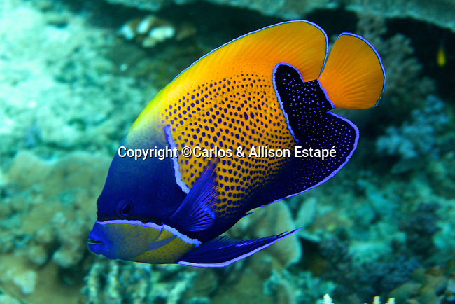 Pomacanthus navarchus, Blue-girldled angelfish, Raja Ampat, Indonesia
