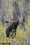 Bull moose in flehmen response during the rut. Grand Teton National Park, Wyoming.