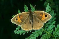 Großes Ochsenauge, Grosses Ochsenauge, Maniola jurtina, Epinephele jurtina, meadow brown