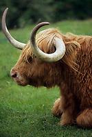 Europe/Grande-Bretagne/Ecosse/Highland/Drumnadrochit : Boeuf des highlands de race Angus dans les pâturages proches du Loch Ness