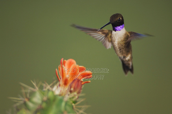 Black-chinned Hummingbird, Archilochus alexandri, male in flight feeding on Claret Cup Cactus (Echinocereus triglochidiatus), Uvalde County, Hill Country, Texas, USA, April 2006