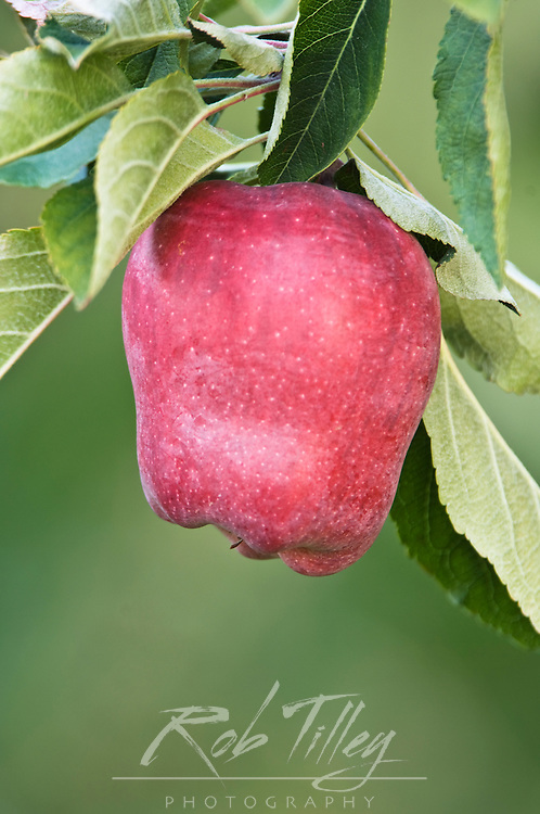 USA, WA, Lake Chelan, Red Delicious Apple Ripe for Harvest (Selective Focus)