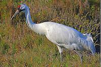 Adult whooping crane walking through grass