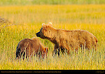 Alaskan Coastal Brown Bear, Golden Female and Cub at Sunset, Silver Salmon Creek, Lake Clark National Park, Alaska