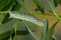 Abendpfauenauge, Raupe frisst an Weide, Abend-Pfauenauge, Smerinthus ocellata, Smerinthus ocellatus, Eyed Hawk-Moth, Eyed Hawkmoth, caterpillar, Le sphinx demi-paon, Schwärmer, Sphingidae, hawkmoths, hawk moths, sphinx moths