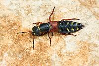 Kaiserlicher Kurzflügler, Staphylinus caesareus, imperial rove beetle