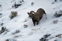 Bighorn Ram running, Cody, Wyoming