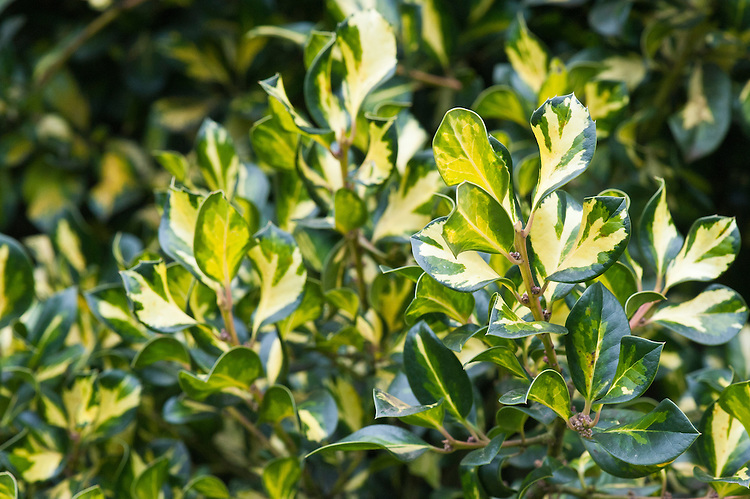 Yellow and green variegated holly (Ilex x altaclerensis 'Lady Valerie' (aquifolium x perado)).