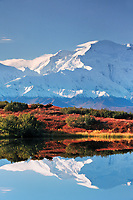 Bull moose bedded down in the autumn tundra. Reflection of Denali in reflection pond in Denali National Park, Alaska.