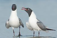 Laughing Gulls (Larus atricilla) courting