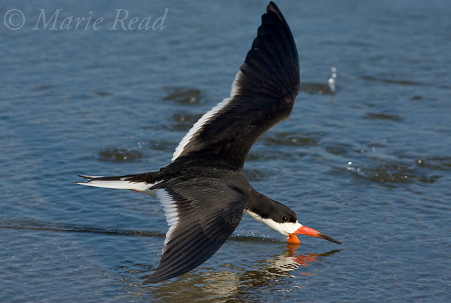 Black Skimmer (Rynchops niger), adult in breeding plumage, skimming, Bolsa Chica Ecological Reserve, California, USA