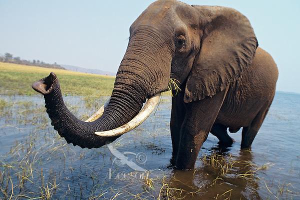 African Elephant Bull (Loxodonta africana) along shore of Lake Kariba, Africa..