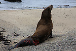 California sea lions with injuries