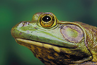 BULLFROG. Males have yellow throats and large eardrums..North America..Rana catesbeiana..