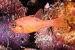 Apogon maculatus, Flamefish, Florida Keys