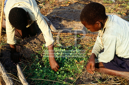Mbati, Zambia. Bemba boys separating seedlings for planting out.