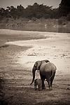 African elephant female with young calf, South Luangwa National Park, Zambia. [Sepia Tone]  (This species is found in many African countries including South Africa, Botswana, Zambia, Zimbabwe, Namibia, Tanzania, Kenya, Rwanda, Uganda, Angola, Democratic Republic of Congo)