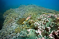 hawksbill sea turtle, Eretmochelys imbricata, resting among leathery coral, Sarcophyton sp., Dayminiats Islands, Orman, Red Sea, Indian Ocean, Ad Dimaniyat Islands, Oman, Arabian Peninsula, Middle East, Indian Ocean