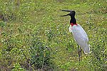 South America, Brazil, Pantanal.  Jabiru Stork, the emblematic bird of the Pantanal.