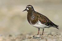 Black Turnstone - Arenaria melancephala - breeding adult