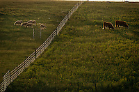 Cattle and sheep graze on a North Dakota State university research farm in Mandan where they test controls for invasive leafy spurge. They have found that sheep do like spurge and keep it mowed down in pastures. Pastures are divided into sheep and cattle plots and on the left, sheep have eaten the spurge leaving a pasture clear of spurge. But across the fence, cattle graze on grasses ignoring the spurge that makes them sick. <br /> The Eurasian weed contains latex, which burns cows' mouths; enough spurge on pastureland will drive cattle away entirely. <br /> Leafy spurge can be catastrophic to grasslands for both economic and ecological reasons. It is estimated that the plant reduces the productivity of grazing land by 50 to 75 percent. It <br /> currently inhabits about three million acres of rangeland in the U.S.