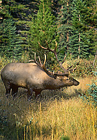 Rocky Mountain Bull Elk wallowing in wet mountain meadow during fall rut.