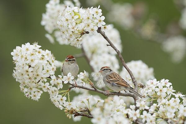 Chipping Sparrow (Spizella passerina), adults in winter plumage on blooming pear tree (Pyrus sp.), Hill Country, Texas, USA
