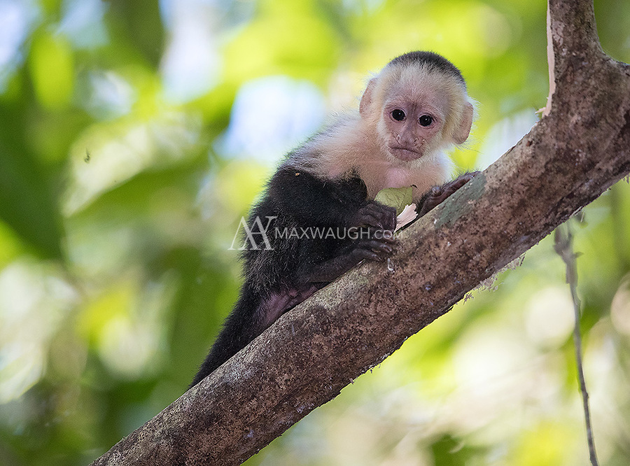 We had some good luck with white-faced monkeys in Carara National Park on this trip.