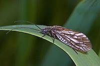 Schlammfliege, Schlamm-Fliege, Sialis spec., Alderfly, Schlammfliegen, Wasserflorfliegen, Sialidae, Alderflies