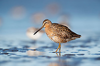 Short-billed Dowitcher (Limnodromus griseus) on mudflats. Grays Harbor County, Washington. May.