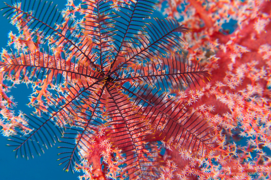 Taveuni, Fiji; a feather star, attached to red soft coral (Dendronephthya sp.), is open in the current to collect food