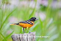 01611-08402 Baltimore Oriole (Icterus galbula) male in flower garden  Marion Co. IL