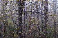 Springtime in a mixed hardwood forest in the Siamese Ponds Wilderness Area in the Adirondack Mountains in New York State