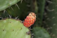 Echter Feigenkaktus, Kaktusfeige, Feigen-Kaktus, Kaktus-Feige, essbare Frucht, Früchte, Opuntien, Kaktus, Kakteen, Opuntia ficus-indica, Opuntia ficus indica, Opuntia ficus-barbarica, Indian fig opuntia, barbary fig, cactus pear, prickly pear, Prickley pear, cactus