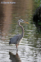 0111-0904  Great Blue Heron Hunting for Prey, Ardea herodias © David Kuhn/Dwight Kuhn Photography