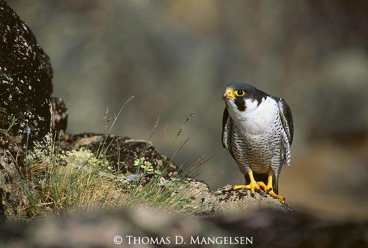 Eye of the Falcon - Peregrine (Falcon peregrinus) ..Canada..Print 1205
