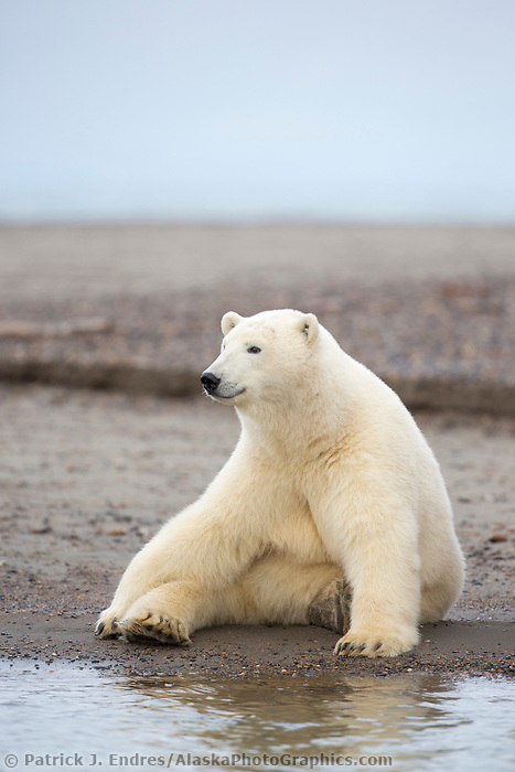 Polar bear sits along the shore of Alaska's arctic in the Beaufort Sea.
