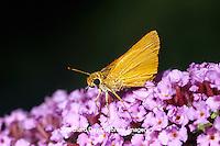 03731-00107 Delaware Skipper  butterfly (Anatrytone logan) on Butterfly Bush (Buddleia davidii) Marion Co.  IL